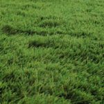 Choosing the Right Turf for your Lawn